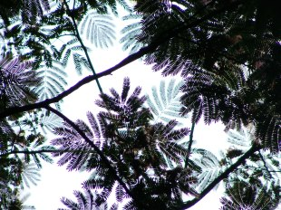 Looking up at mimosa canopy.
