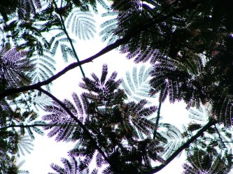 Looking up at mimosa canopy.