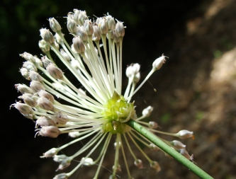Wild onion blooms in the woods.