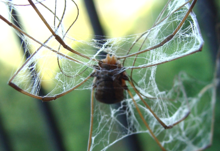 Harvestman falls into orb spider web. The white lace of the web wrapped around the harvestman's legs reminded me of whirling dancer.