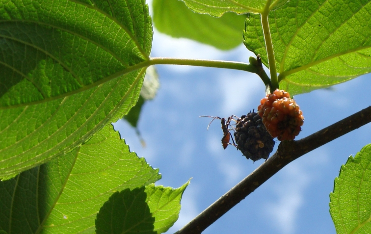 Insect eating mulberries.