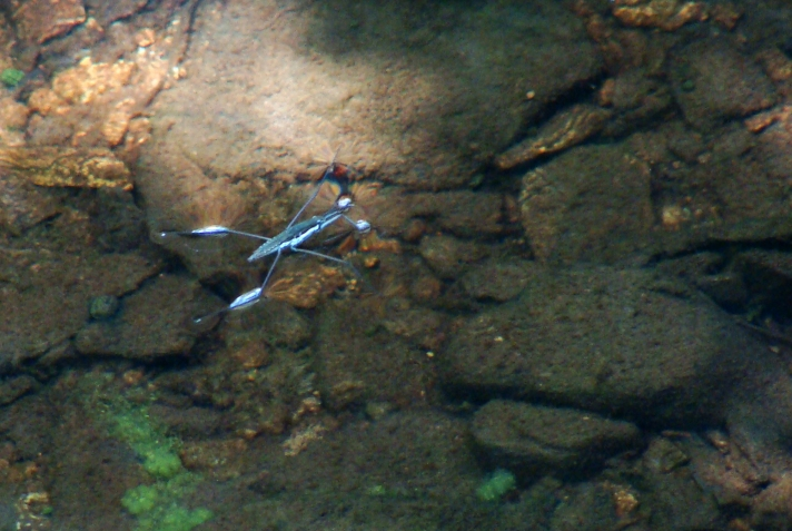 Water strider on the surface of a creek.