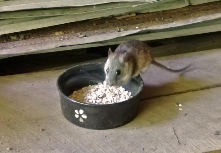 Ratty Solo