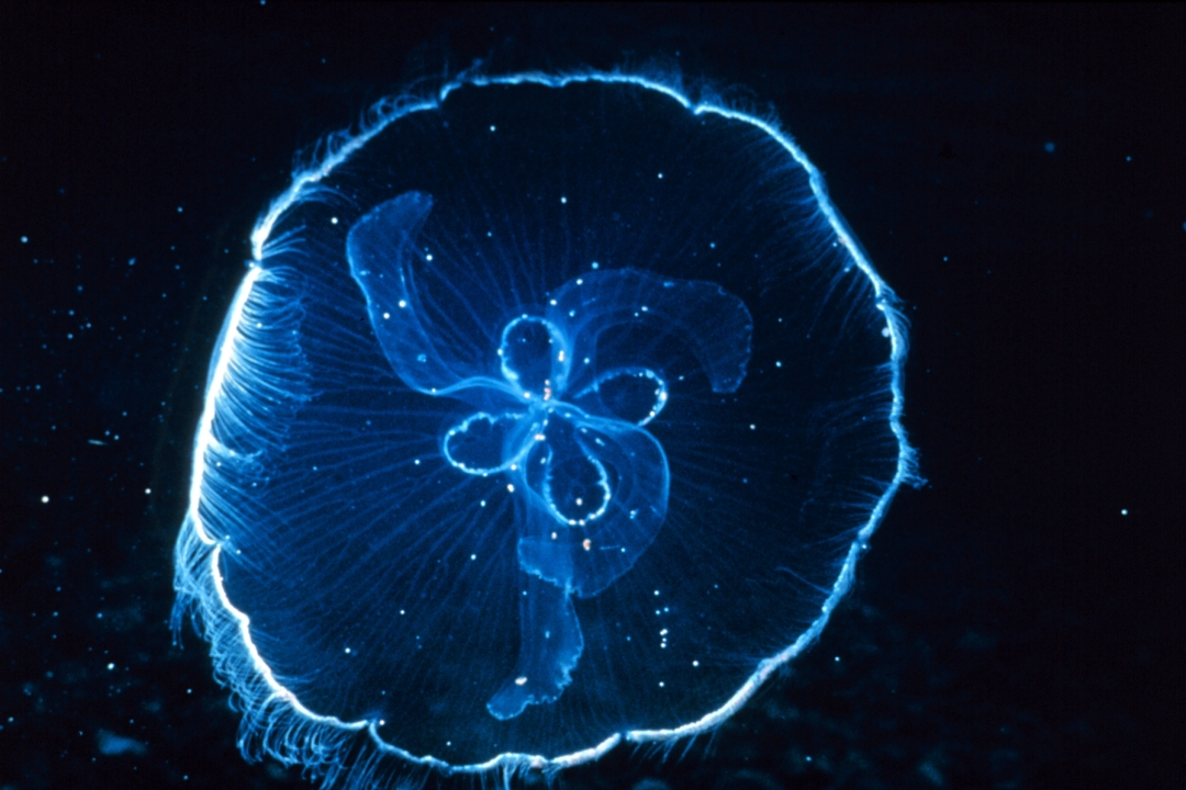 Moon jellyfish against dark background.