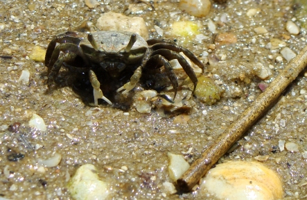 Tiny crab on shore.