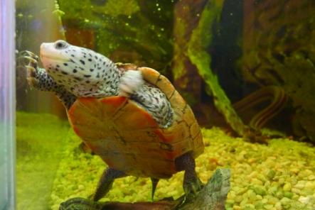 Turtle swimming.