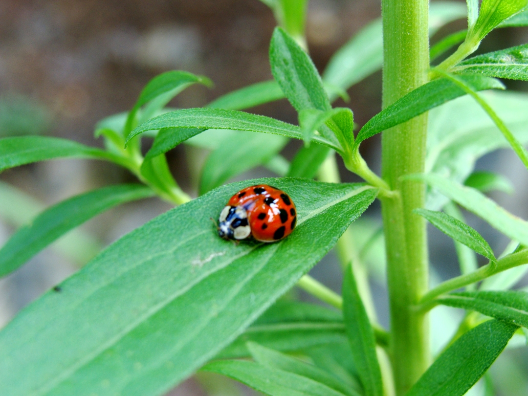 Ladybug on green leaves.