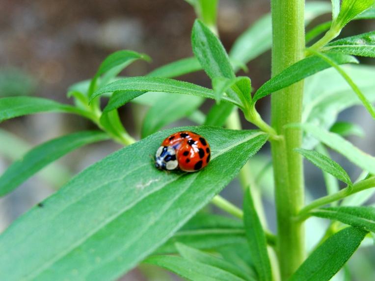 Ladybug on green leaves.