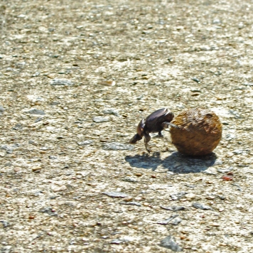 GO BABY GO -- Beetle races across the road with his fresh deer dung.