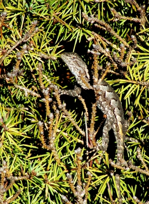 Fence lizard inside a conifer.