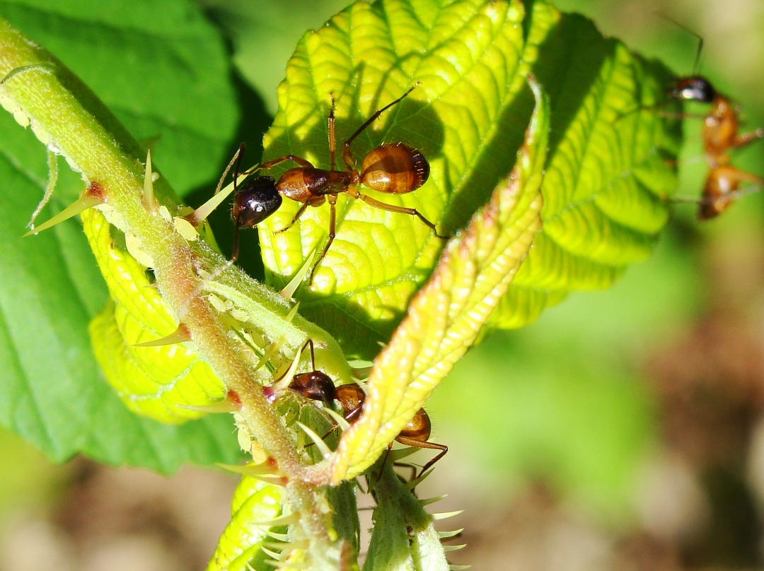Large ants crawl over young blackberry leaves.