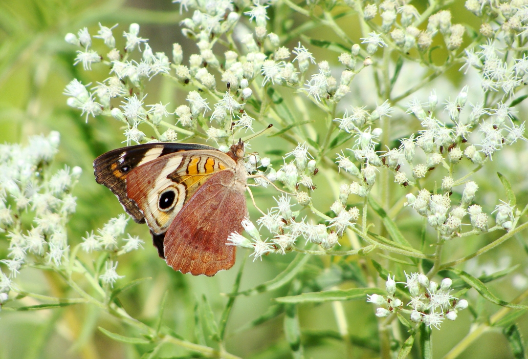 Buckeye butterfly on tiny white flowers.