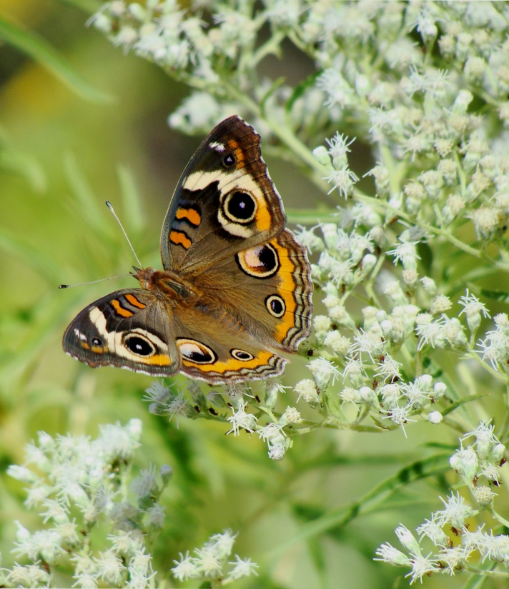 Buckeye butterfly on flowers.