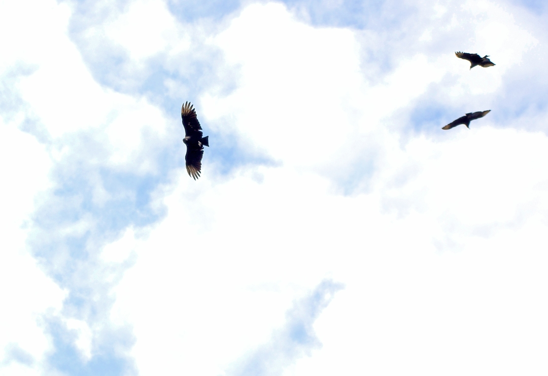 A trio of vultures silhouetted against the sky.