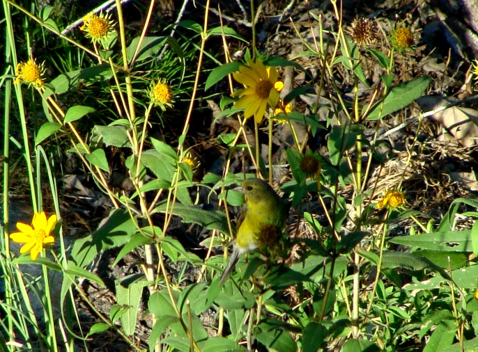 Finch eating seeds from black-eyed Susans.