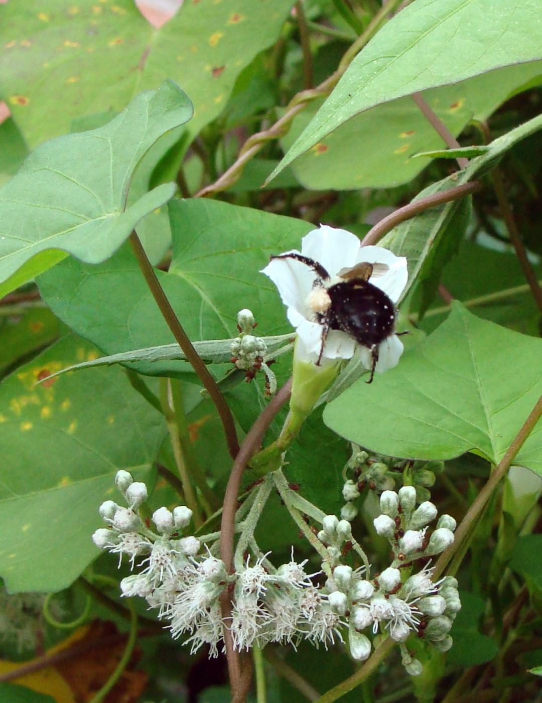 Bee in rumpet flower.