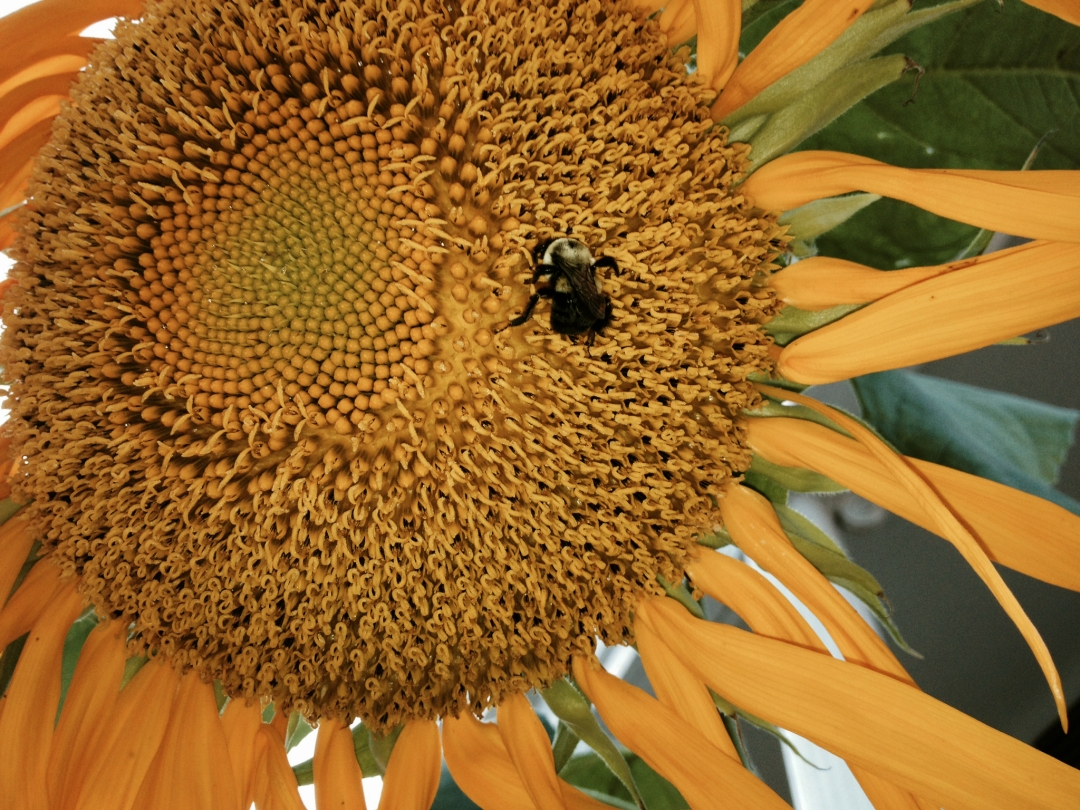 Bumblebee on sunflower.