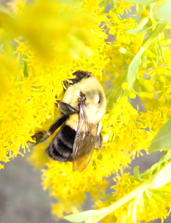 Mason bee nestles deeply into the goldenrod.