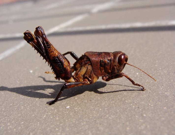 Grasshopper, post dinner.