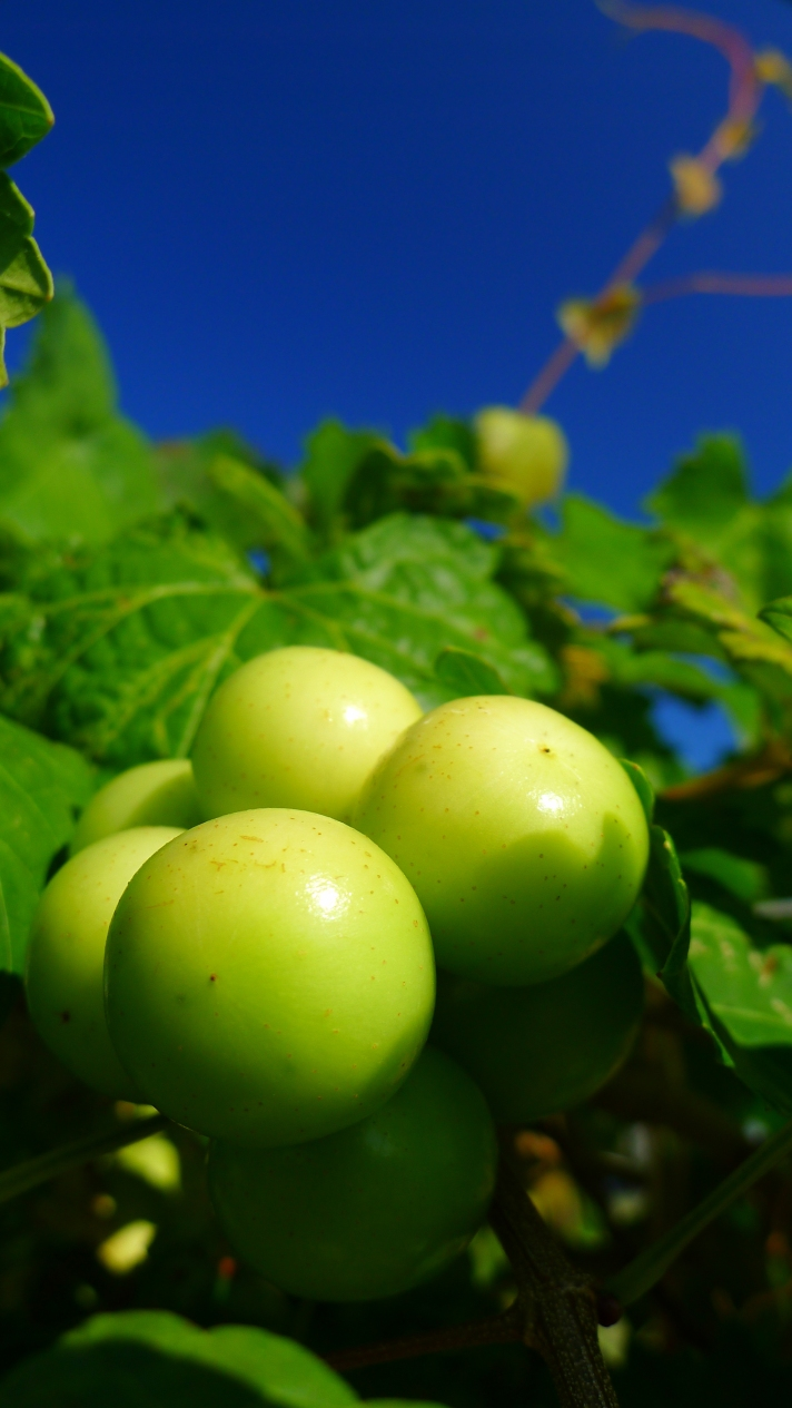 Green muscadines