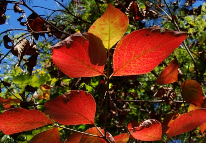 Dogwood leaves.