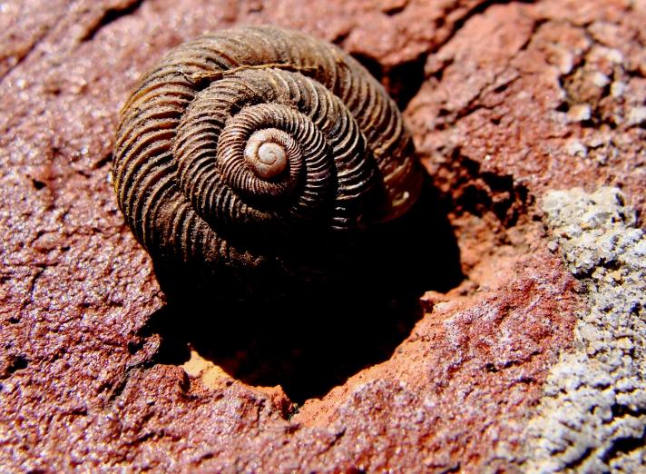 Vacant garden snail shell