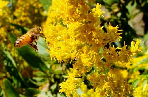 Honeybee in flight.