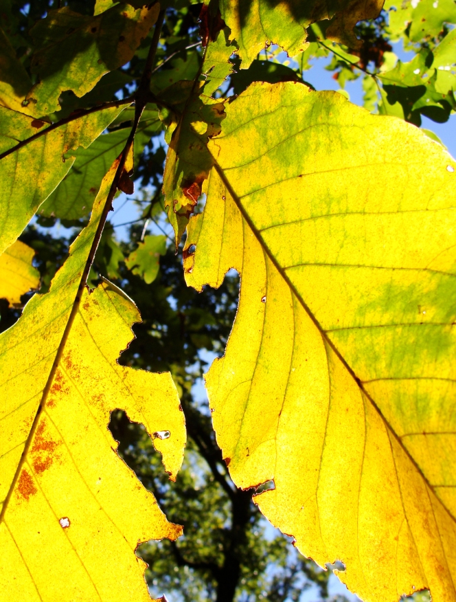 Yellow hickory leaves.
