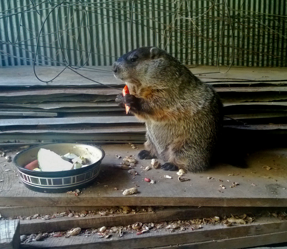 Groundhog eating a carrot.