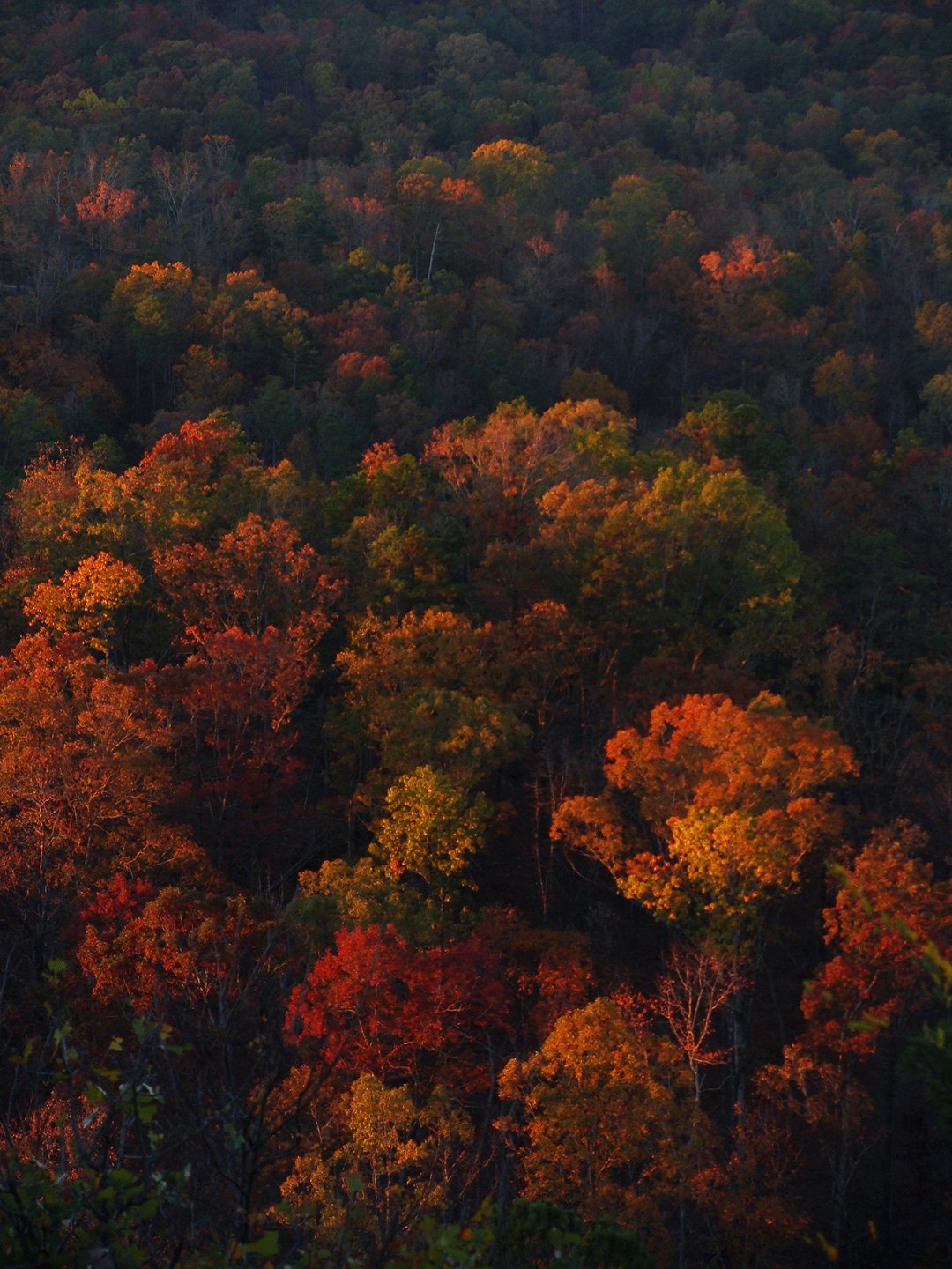 Maples at first light