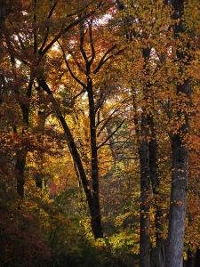 Golden leaves in Little Rock's midtown.