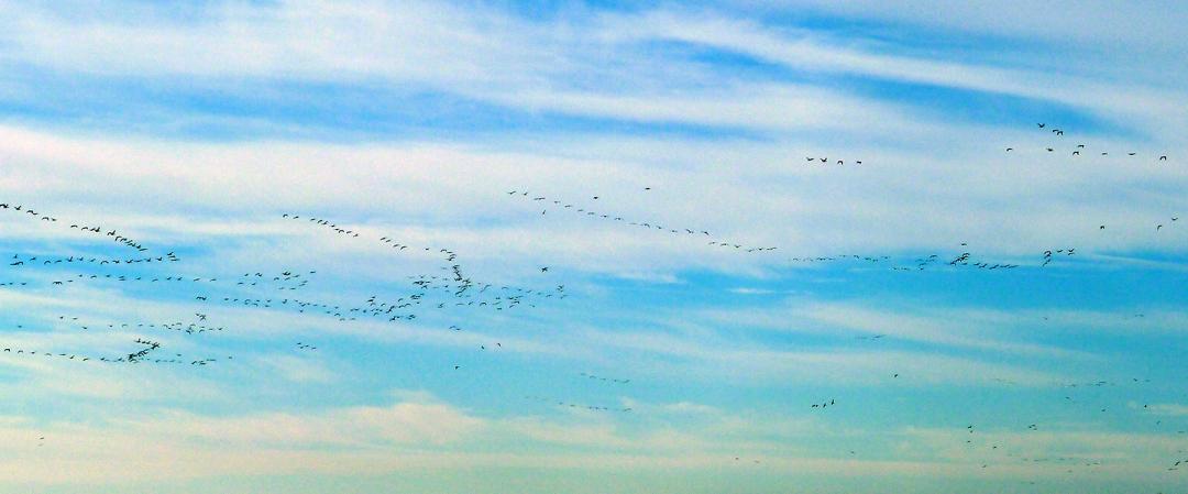11-28-Geese-Hazen3-WEB