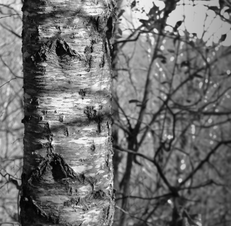 Cherry bark wrapped in shadow strands.