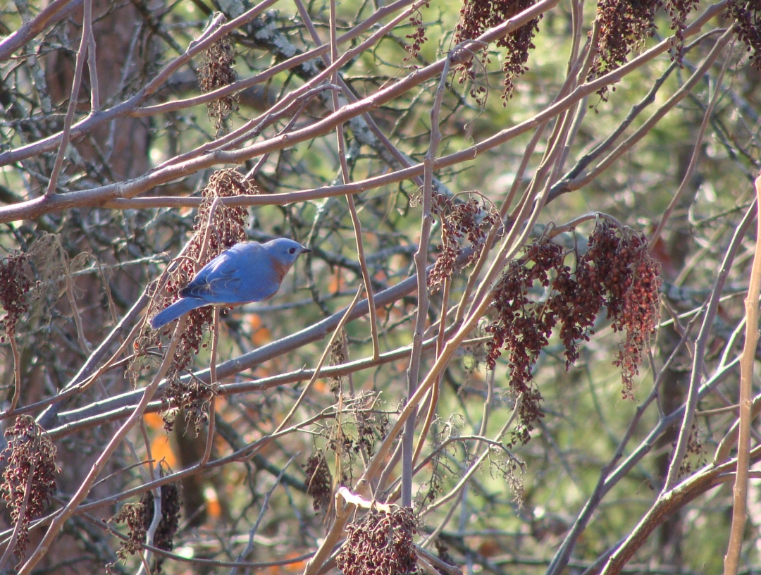 Eastern bluebird grabs breakfast in the sumac.