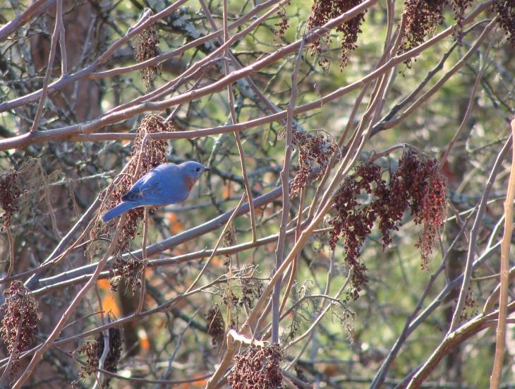 Eastern bluebird grabs breakfast in the sumac.