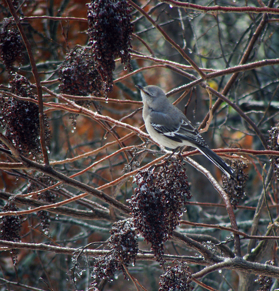 Junco in sumac.