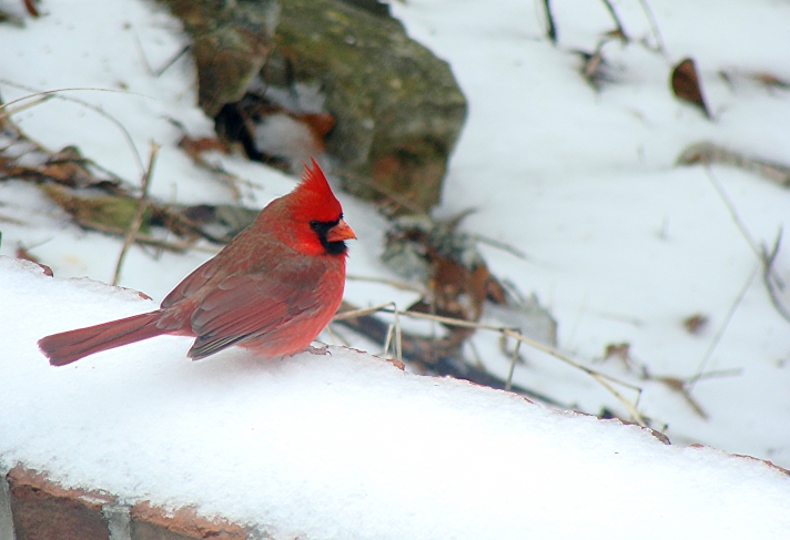 Male cardinal on snow-topped wall.