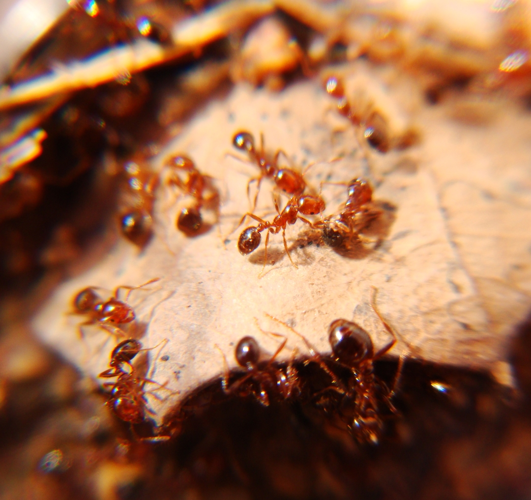 Fire ants approach dead colleague.