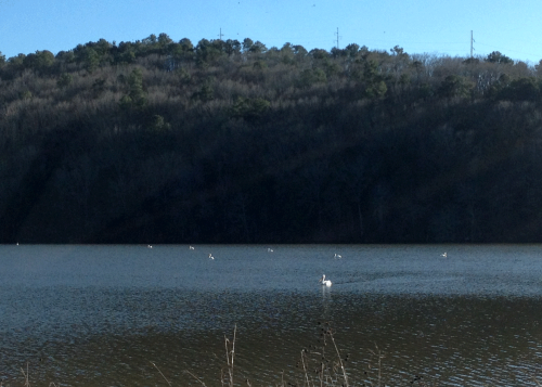 White pelicans on the Arkansas River near Altus.
