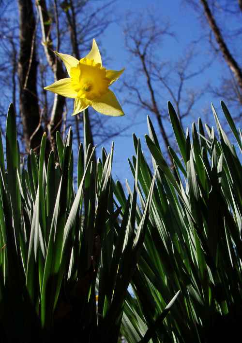 Single daffodil bloom