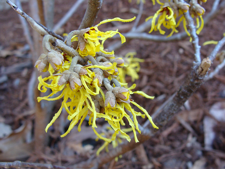 Witch hazel.