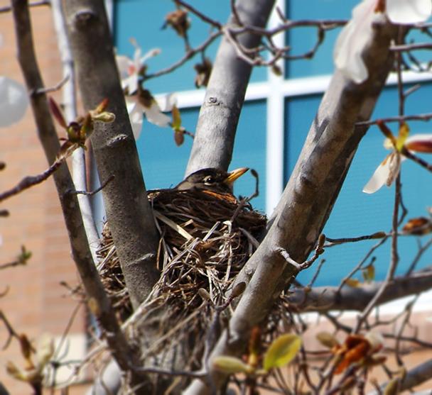 Robin in nest.