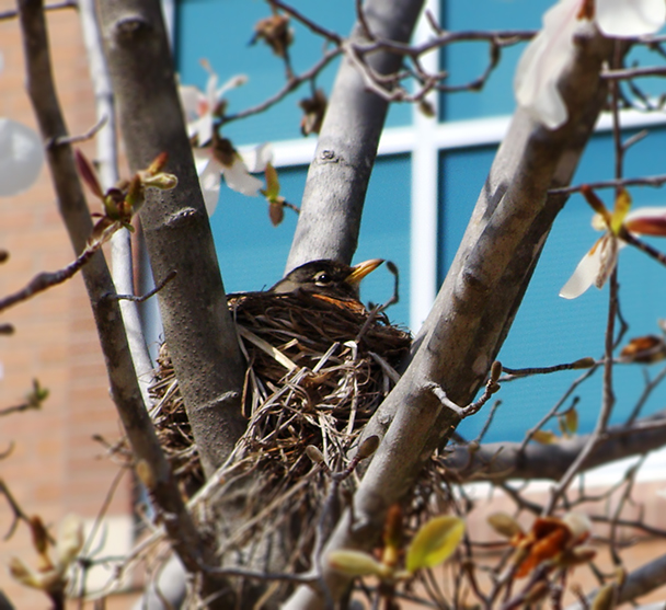 Robin in nest.