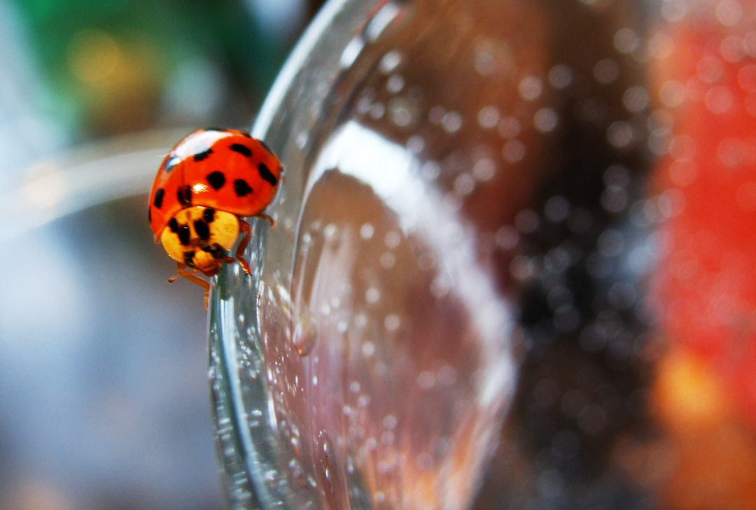 Indoor ladybug on a glass.