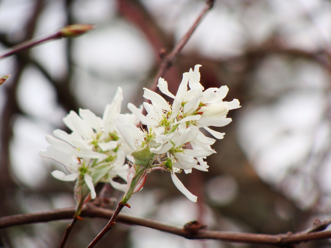 White tree blossoms.