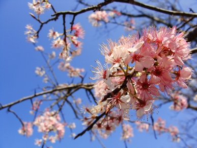 Pink fruit tree blooms.