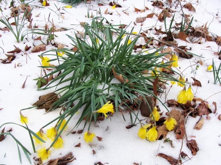 Frozen daffodils.