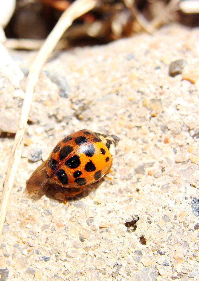 Ladybug on the sidewalk.