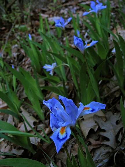 4-16-Crested-Iris-Field
