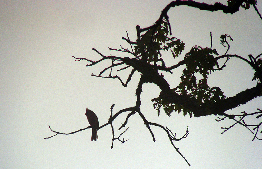 Cardinal in silhouette.